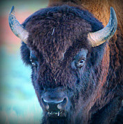 American Bison Prints - Staring Contest.. Print by Al  Swasey