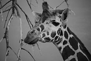 Giraffe Photos - Staring Giraffe by Angella  Day