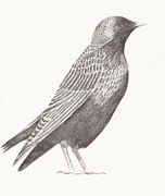 Starlings Drawings Prints - Starling Print by Nina Shilling