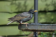 Starlings Metal Prints - Starling on bird feeder Metal Print by Tony Murtagh