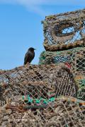 Lobster Pots Framed Prints - Starling on Lobster Pots Framed Print by Louise Heusinkveld