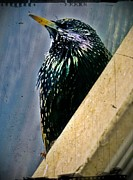 Starlings Metal Prints - Starling on the Edge Metal Print by Lilliana Mendez