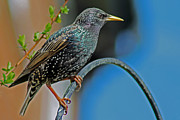 Starlings Metal Prints - Starling perched in garden Metal Print by Tony Murtagh