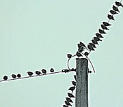 Starlings Metal Prints - Starling Wiretapping Metal Print by Rosanne Jordan