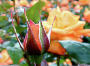 Yellow Rosebud Photos - Starting Out by Rona Black
