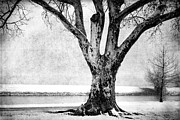 Old Tree Photograph Framed Prints - Stately Framed Print by Betty LaRue