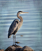 Evening Light Prints - Stately-Great Blue Heron Print by Betty LaRue