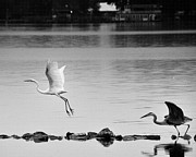 Joseph Duba - Stay Fair Egret
