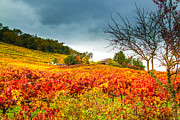Sonoma County Vineyards. Prints - Staying Cheerful Amidst the Storm Print by Tirza Roring