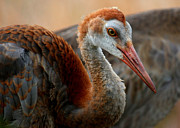 Sandhill Crane Framed Prints - Staying Close to Mom Framed Print by Carol Groenen