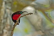 Sunbird Prints - Stealth Attack Print by Ashley Vincent