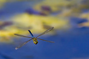 Blue Darner Dragonfly Posters - Stealth Chopper Poster by Gary Holmes