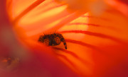 Jane Eleanor Prints - Stealth Mode - spider in an orange flower Print by Jane Eleanor Nicholas