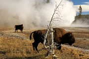 Vent Prints - Steaming Bison Print by Adam Jewell