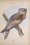 Audubon Drawings Posters - Steatorninae Owl Poster by Philip Ralley