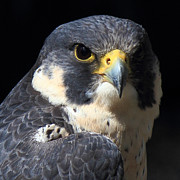 Peregrine Falcon Prints - Steely Stare Print by Randy Hall