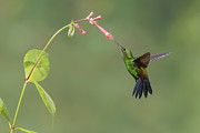 Juan Carlos Vindas Metal Prints - Steely-vented Hummingbird Metal Print by Juan Carlos Vindas