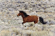Forelock Photos - Steens Stallion D0145 by Wes and Dotty Weber