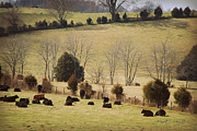 Black Angus Digital Art Prints - Steers In Rolling Pastures - Kentucky Print by Paulette Wright