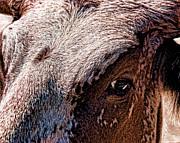 William Havle - Steers Looking At You