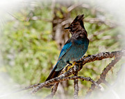 Stellar Jay Posters - Stellar Jay Poster by Bill Gallagher