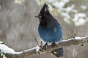 Stellar Jay Prints - Stellar Jay in snow Print by Inge Riis McDonald