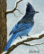 Stellar Jay Prints - Stellar Jay in Winter Print by Ellen Strope