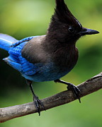 Birds On A Branch Posters - Stellers Jay Poster by Wingsdomain Art and Photography