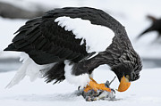 Eagle Framed Prints - Stellers Sea Eagle Feeding Framed Print by Sergey Gorshkov