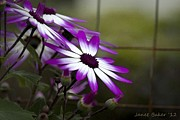 Senetti Framed Prints - Step back in time. Framed Print by Janet Baker