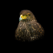 Raptor Prints - Steppe Eagle Print by Bill  Wakeley