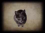 Sterling Metal Prints - Sterling the Cat Metal Print by David Dehner