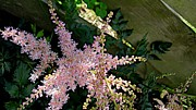 Joseph Yarbrough - Still Astilbe
