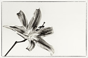 Flower Still Life Prints Prints - Still Beauty Print by Kim Andelkovic