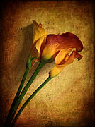 Calla Digital Art - Still Life Calla by Jessica Jenney