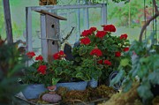 Red Geraniums Photo Prints - Still Life Print by Helen Carson