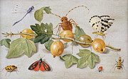 Fauna Painting Posters - Still life of branch of gooseberries Poster by Jan Van Kessel