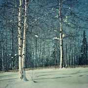 Birches Posters - Still Winter Poster by Priska Wettstein