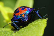 Stink Bug Digital Art - Stink bug 007 by Kevin Chippindall