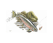 Rainbow Trout Drawings Prints - St.Joe Cuttroat Print by Kenneth or Susan Posselt