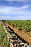Grape Vineyard Photo Posters - Stone wall. vineyard. Cote de Beaune. Burgundy. France. Europe Poster by Bernard Jaubert