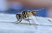 Striped Dragon Fly Prints - Stop By Tiger Dragon fly Print by Peggy  Franz