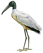 Stork Print by Anonymous