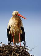 Nick  Biemans - Stork on a nest