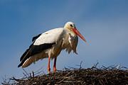 Nick  Biemans - Stork on her nest