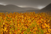 Photos Of Autumn Metal Prints - Storm Over Vinyard - Landscape Photos Metal Print by Laria Saunders