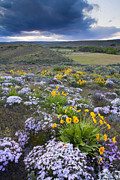 Balsamroot Framed Prints - Storm over Wildflowers Framed Print by Mike  Dawson