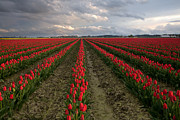 Puget Sound Photographs Prints - Stormy Red Tulips Print by David  Forster