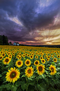 Flowers Sunflowers Barn Prints - Stormy Sunrise Print by Debra and Dave Vanderlaan