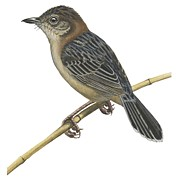 Illustration Drawings - Stout cisticola by Anonymous